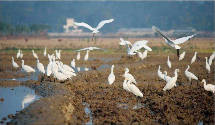 Birds of Bangladesh